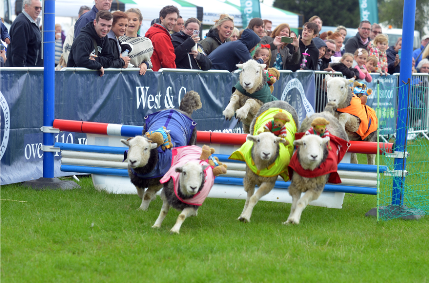 five sheep leaping over a jump at a show